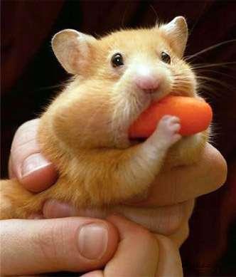 binge-eating-hamster