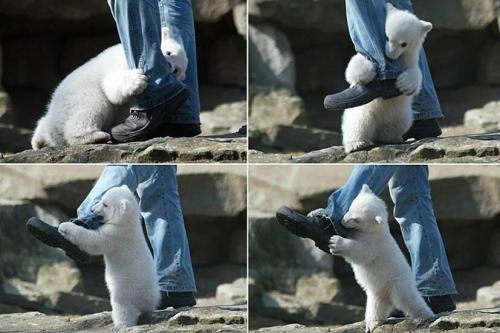 polar-bear-cub-out-of-control-ankle-biter