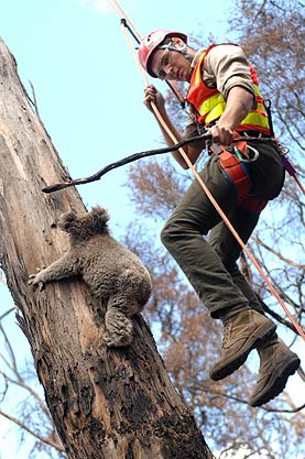 Koala - Tree